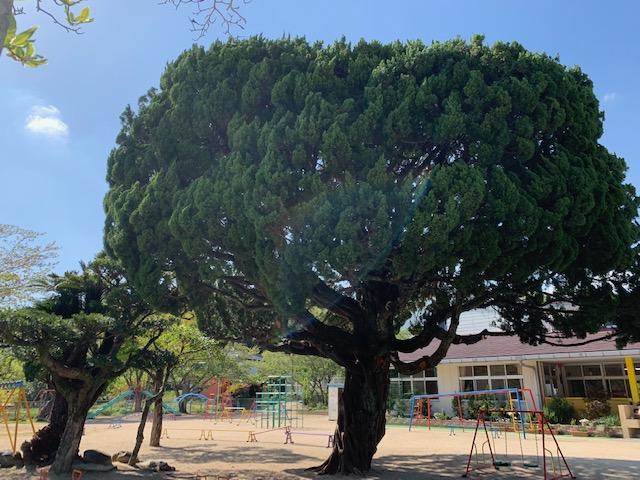 わかば保育園シンボルツリー1