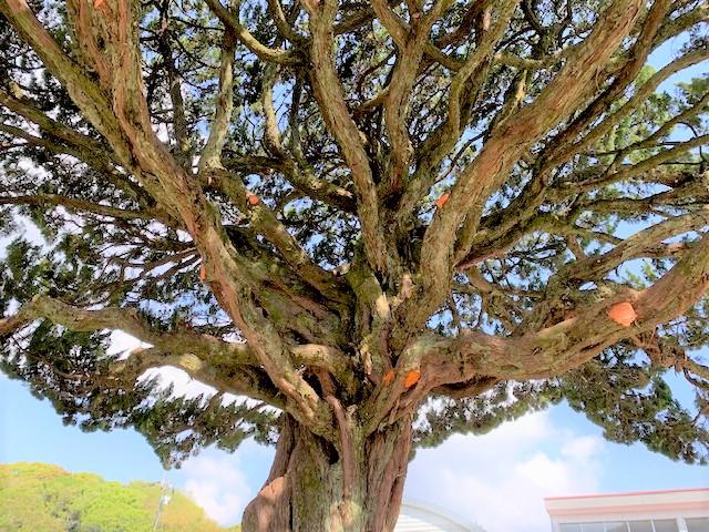 わかば保育園シンボルツリー2