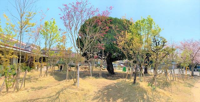 佐賀白石 わかば保育園 園庭 桜10